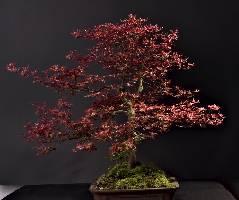 Bonsai-Rot